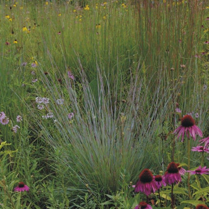Picture of Little Bluestem - Seed