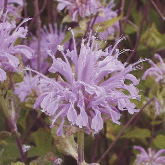 Picture of Bee Balm - Seed