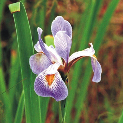 Picture of Blue Flag Iris - Seed