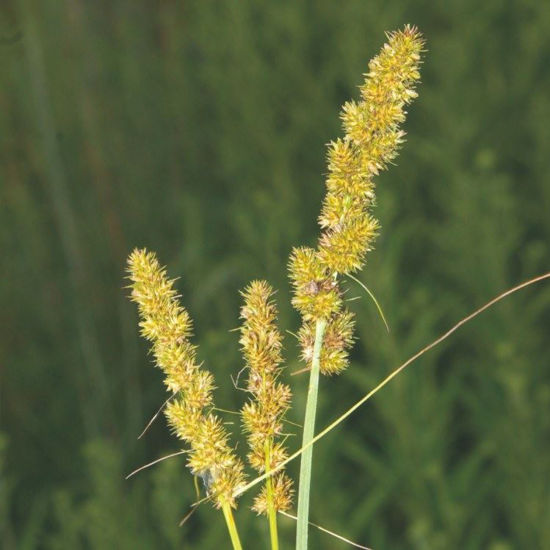Picture of Brown Fox Sedge - Seed