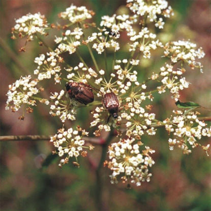 Picture of Cowbane - Seed