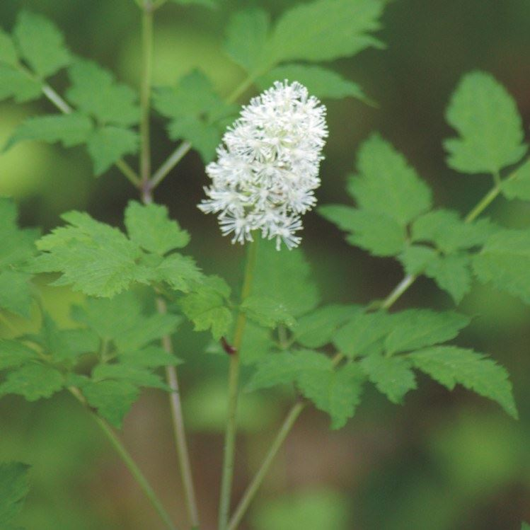 Picture of Doll's Eyes (White Baneberry) - Seed