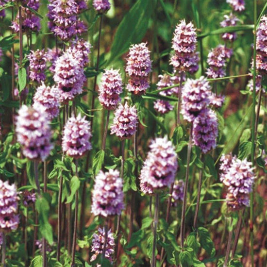 Picture of Downy Wood Mint - Seed