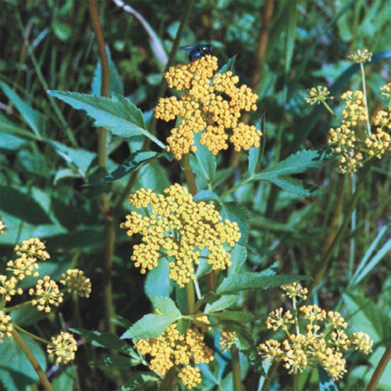Picture of Golden Alexanders - Seed
