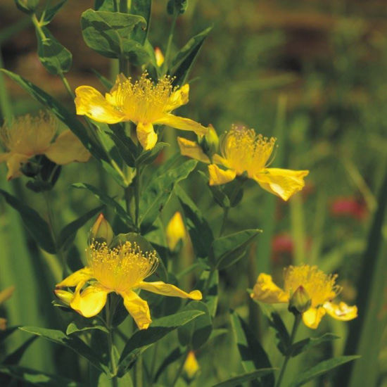 Picture of Great St. John's Wort - Seed