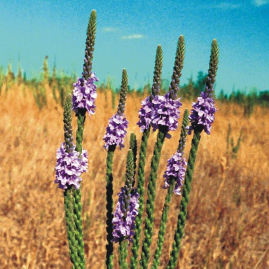 Picture of Hoary Vervain - Seed