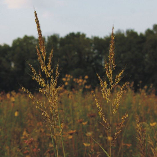 Picture of Indian Grass - Seed