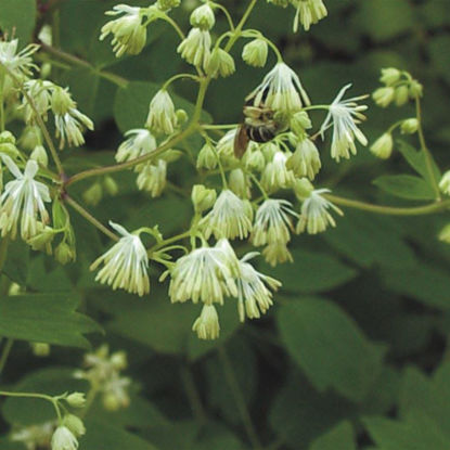 Picture of Meadow Rue - Seed