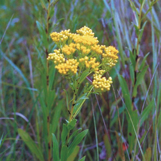 Picture of Ohio Goldenrod - Seed