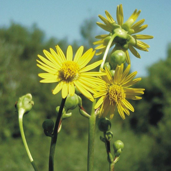 Picture of Prairie Dock - Seed