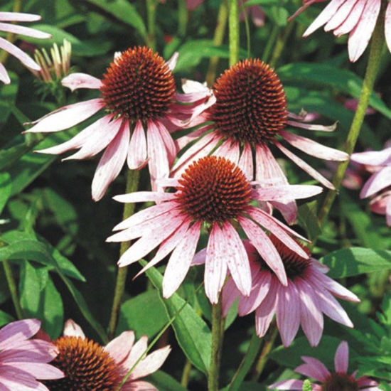 Picture of Purple Coneflower - Seed