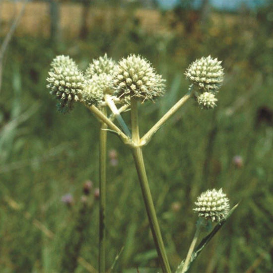 Picture of Rattlesnake Master - Seed