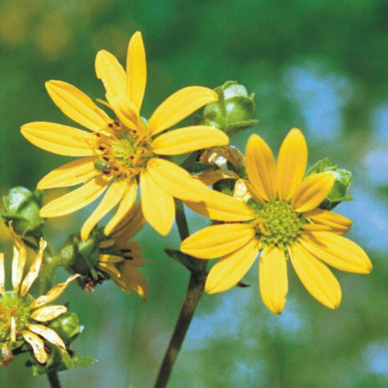Picture of Rosinweed - Seed