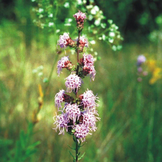 Picture of Rough Blazing Star - Seed