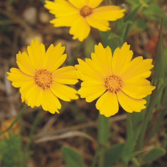 Picture of Sand Coreopsis - Seed