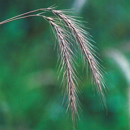 Picture of Silky Rye Grass - Seed