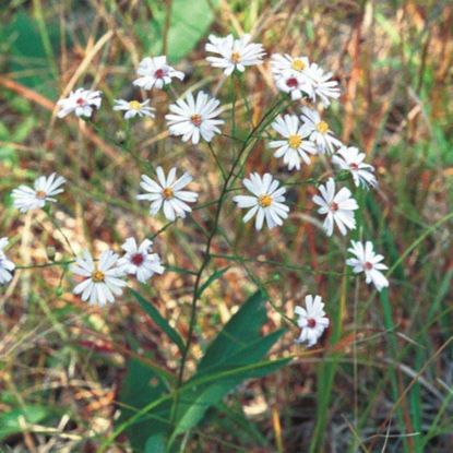 Picture of Smooth Blue Aster - Seed