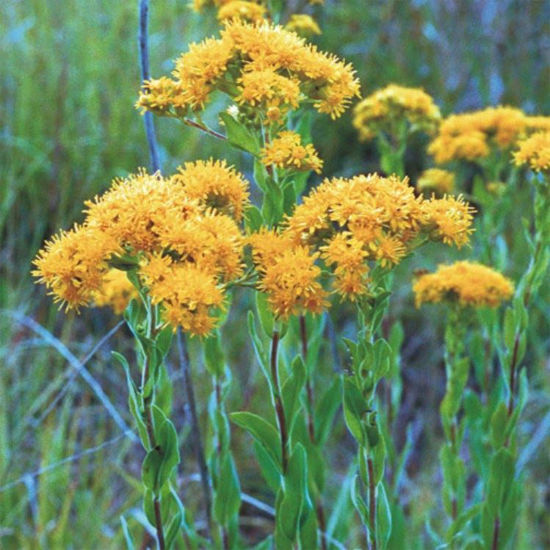 Picture of Stiff Goldenrod - Seed