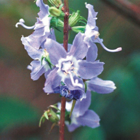 Picture of Tall Bellflower - Seed