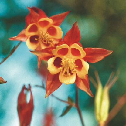 Picture of Wild Columbine - Seed