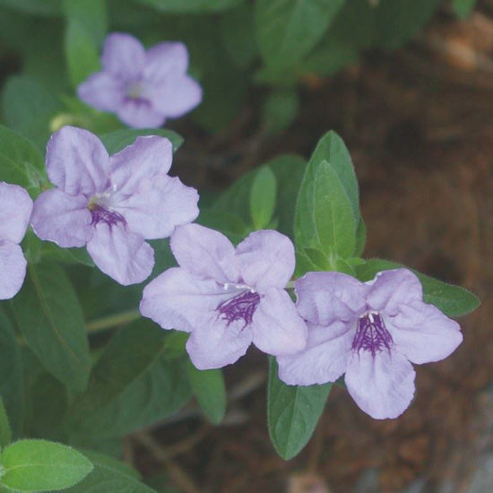 Picture of Wild Petunia - Seed