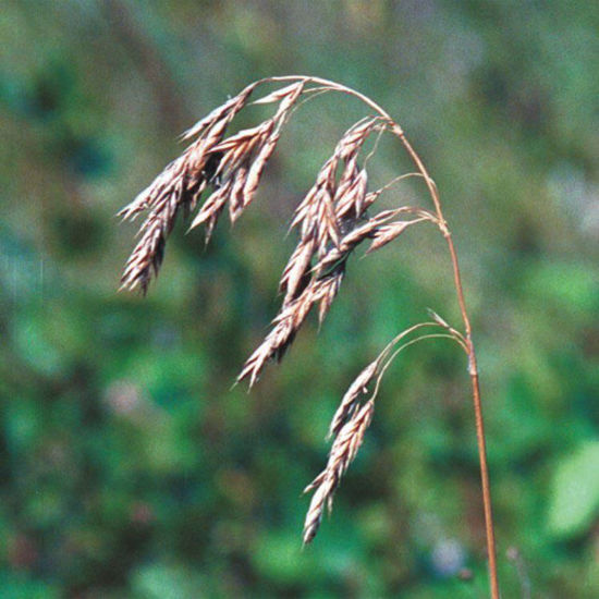 Picture of Prairie Brome - Seed