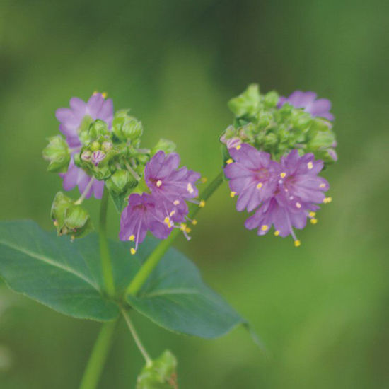 Picture of Wild Four O'Clock - Seed