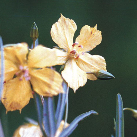 Picture of Prairie Loosestrife - Seed