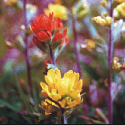 Indian paintbrush picture - red and yellow flowers
