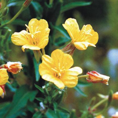 light yellow bloom - Evening Primrose plant