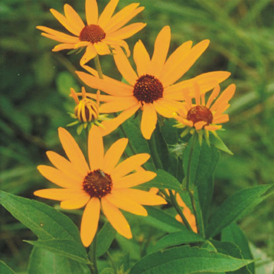 Picture of Sweet Black Eyed Susan - Seed