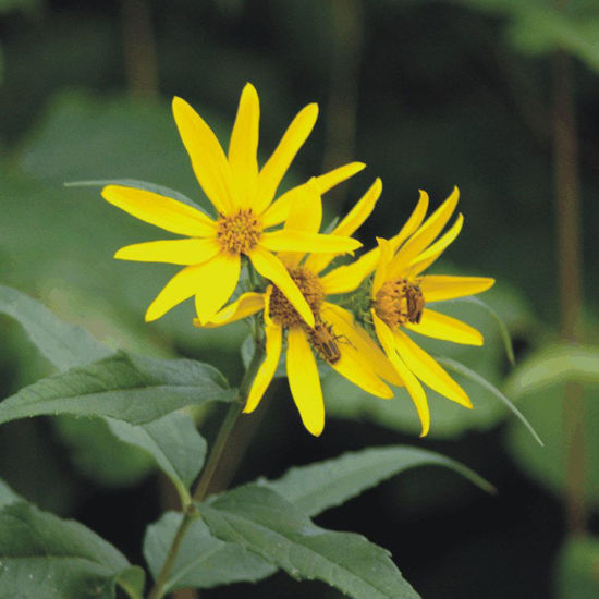 Picture of Woodland Sunflower - Seed