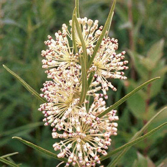 Picture of Tall Green Milkweed - Seed
